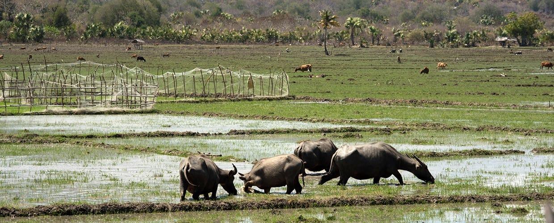 Timor-Leste: Animal, Buffalo, Mammal, Wildlife, Rhino, Countryside, Farm, Field, Grassland, Meadow, Nature, Outdoors, Pasture, Rural, Ranch, Savanna, Soil, Land