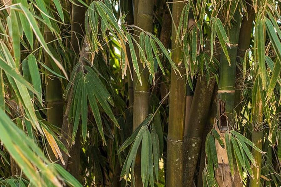Timor-Leste: Plant, Bamboo, Bamboo Shoot, Vegetable, Produce, Food