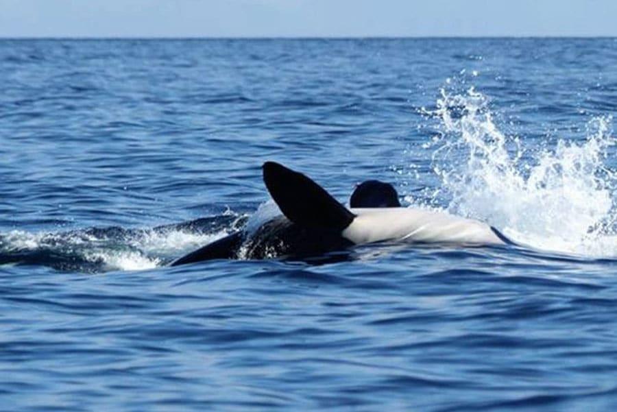 Timor-Leste: Sea Life, Animal, Mammal, Killer Whale, Orca, Whale